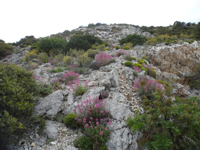 The banks of Mt.Hymettus are alive with Centranthus ruber,  Phlomis fruticosa and Euphorbia acanthothamnos