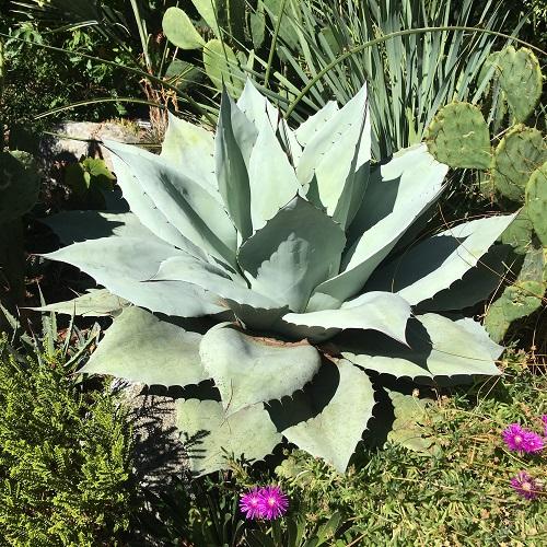 agave-ovatifolia