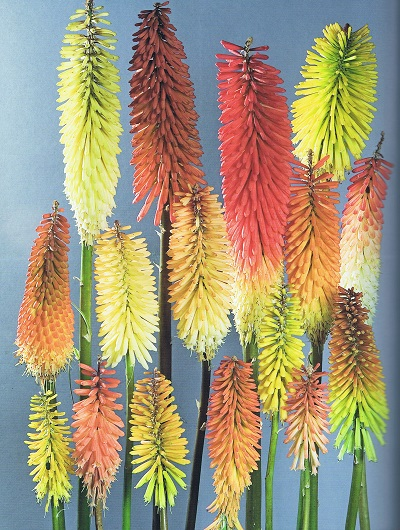 The range of colors from the Kniphofia cultivars at the 2007-2009 RHS Trial (Photo Credit: Tim Sandall from Kniphofia)