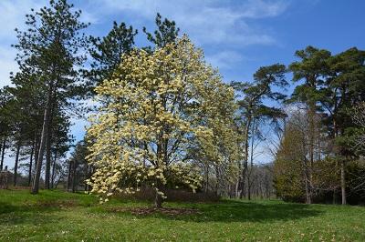 magnolia-elizabeth-dsc_4214