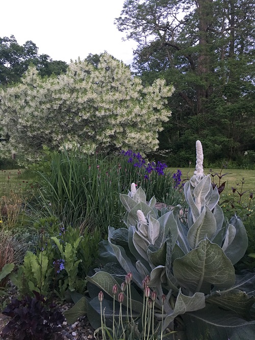 Verbascum_with_Fringe_tree